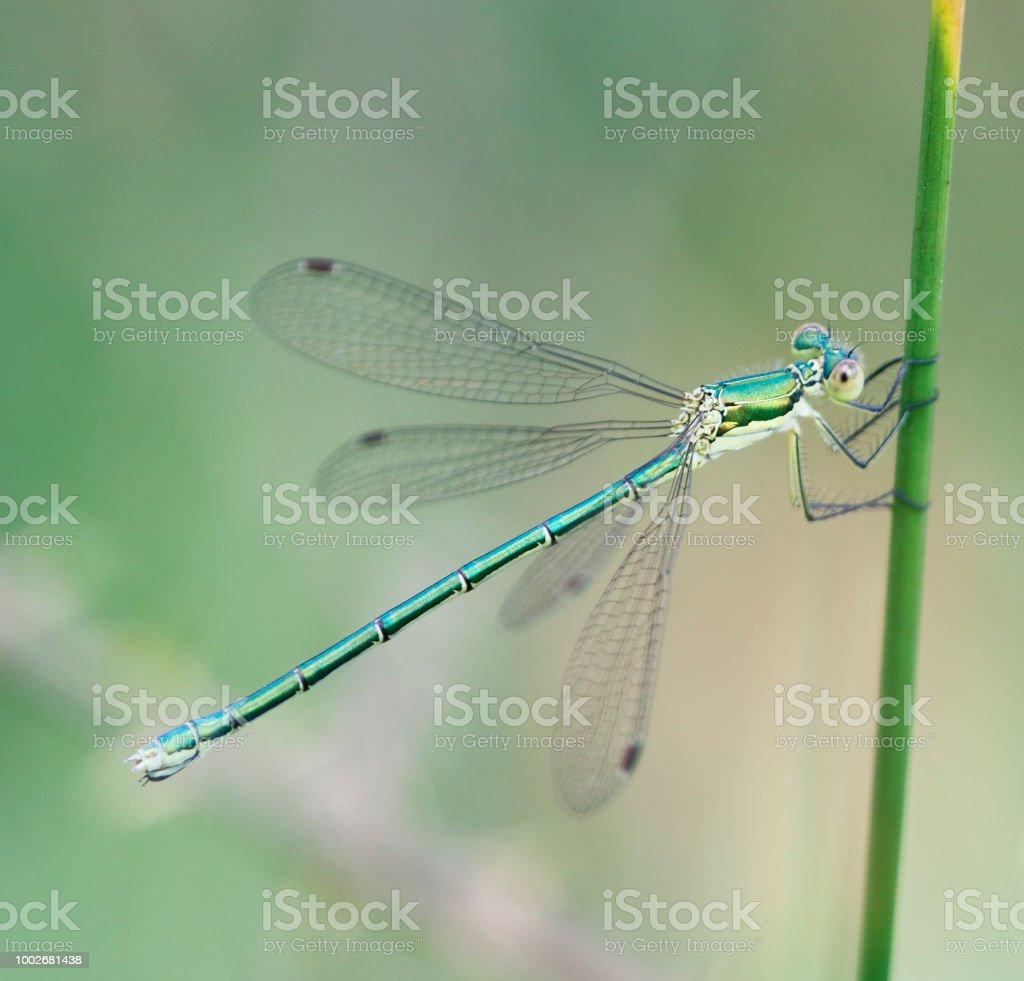 Gemeenschappelijke Emerald Juffers (Lester sponsa) vrouw foto