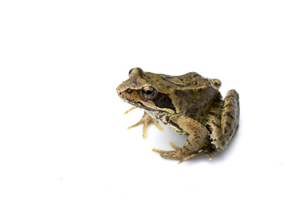 common english wild frog on white background - croak stock pictures, royalty-free photos & images