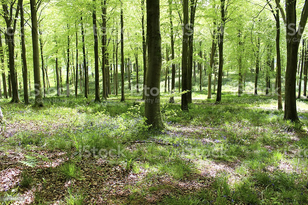 Common European beech trees (fagus sylvatica) in woodland, spring foliage stock photo
