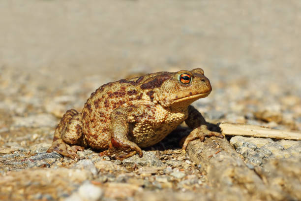 common european brown toad on gravel - croak stock pictures, royalty-free photos & images
