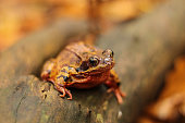 Common frog with red colouring sitting on some old wood with blurred orange leaves in the background