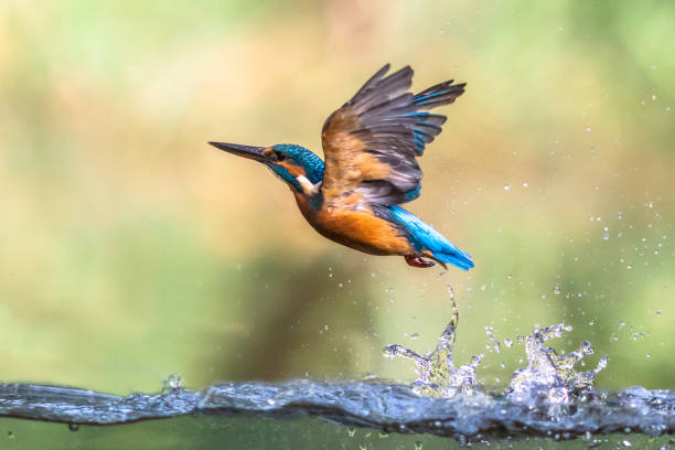 Common European Kingfisher emerging abstract Common European Kingfisher (Alcedo atthis).  river kingfisher diving and emerging from water and flying back to lookout post on green background kingfisher stock pictures, royalty-free photos & images