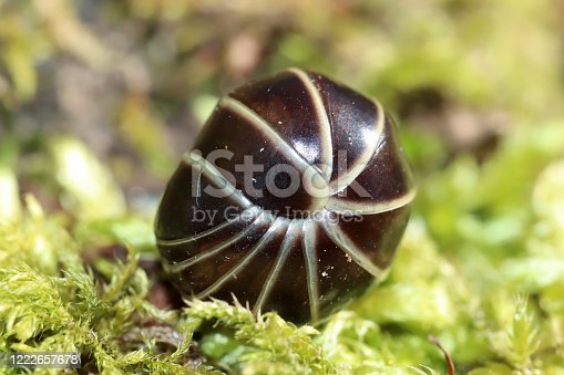 rounded in cross-section, which is capable of rolling itself up into a ball, looks closely woodlouse