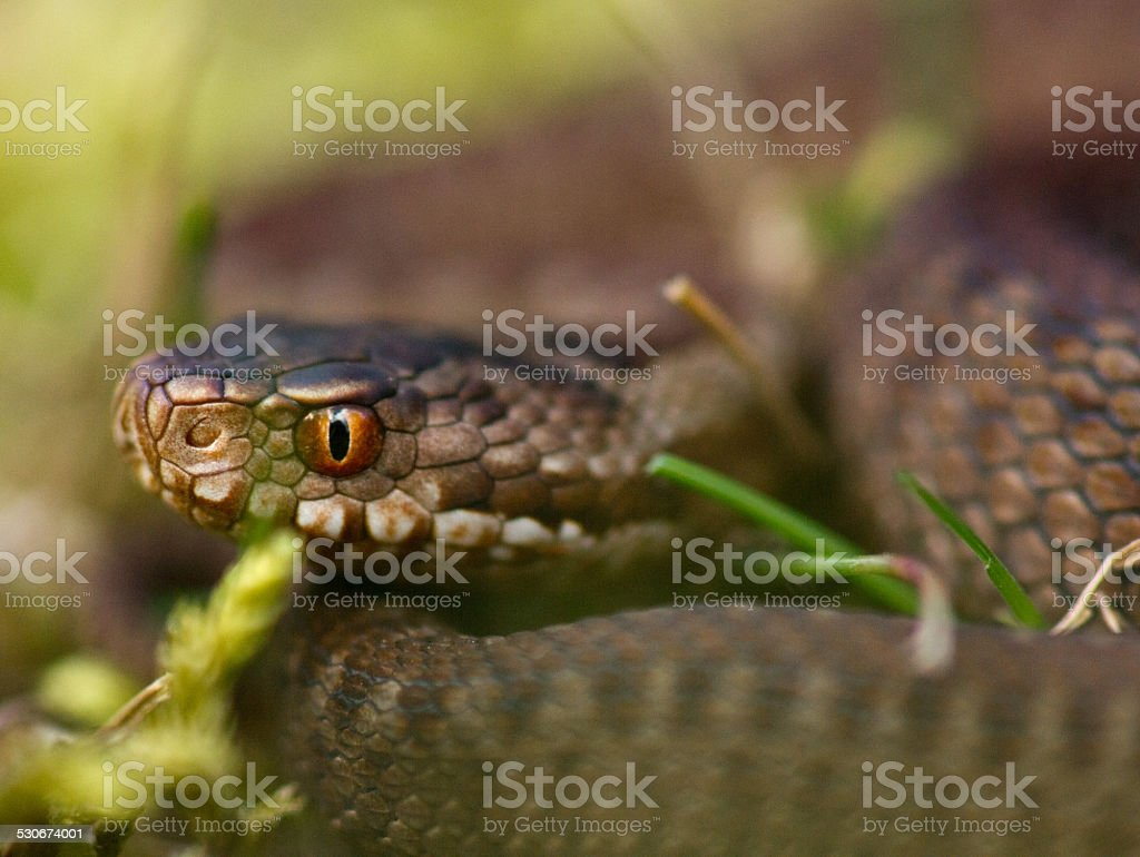 Common European viper stock photo