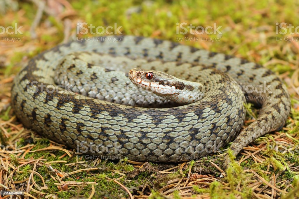 common european viper standing on green moss stock photo