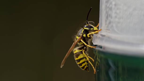 vespa comum europeu (vespula vulgaris) sentada em uma vespa trap, - vespa comum - fotografias e filmes do acervo