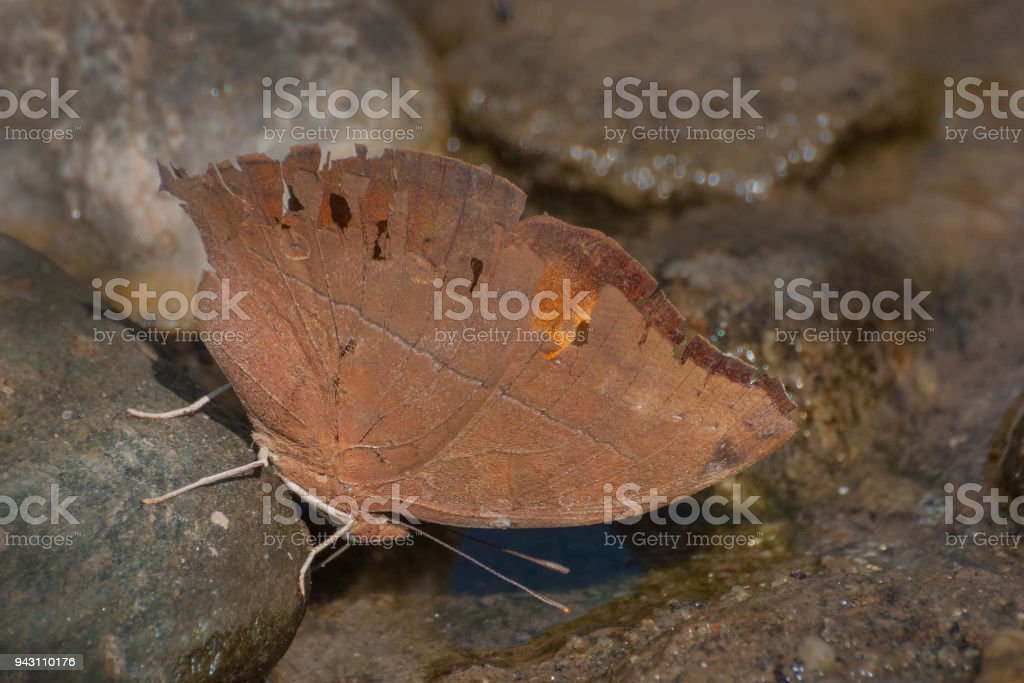 Common Evening Brown butterfly stock photo