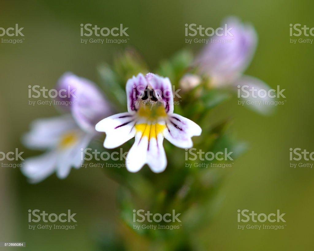 Common eyebright (Euphrasia nemorosa) close up of flower stock photo