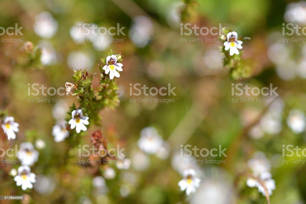 Common eyebright (Euphrasia nemorosa) plants in flower stock photo