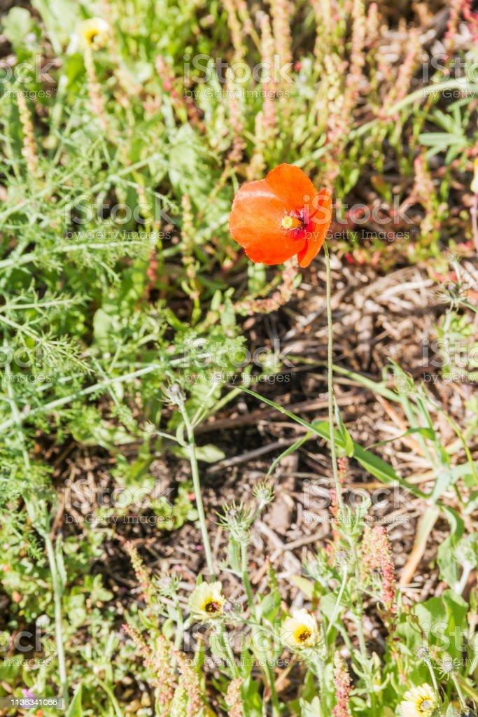 Amapola común, de campo o roja - foto de stock