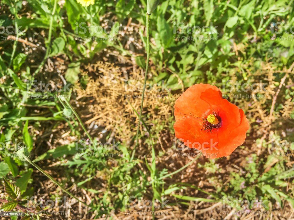 Common, field or red poppy stock photo