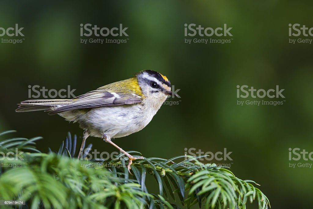 Common firecrest (Regulus ignicapilla) perched on a branch. stock photo