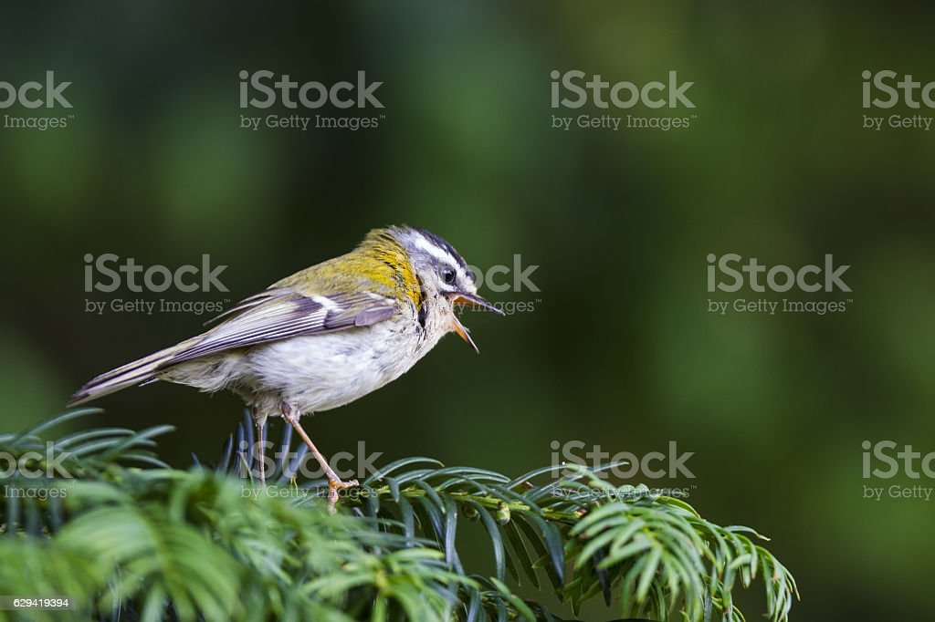 Common firecrest (Regulus ignicapilla) perched on a branch singing loud. stock photo