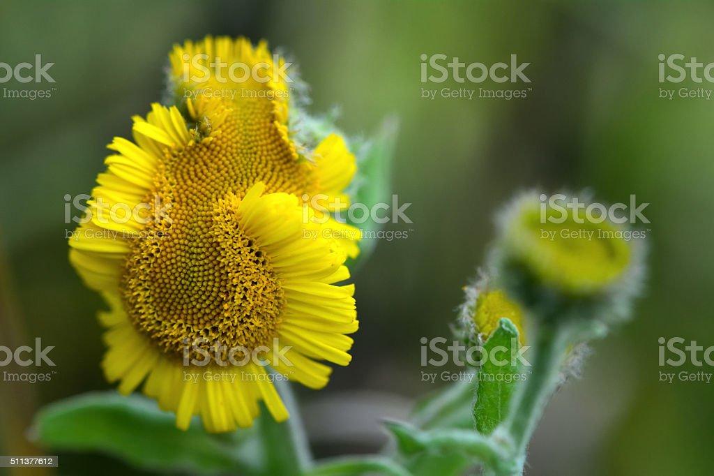 Common fleabane (Pulicaria dysenterica) deformed flower stock photo