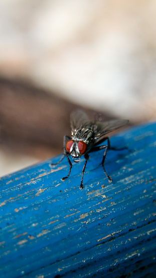 vertical macro shot of a common flesh fly with its black and white body and red eyes sitting on a blue pipe and looking at the camera during daytime
