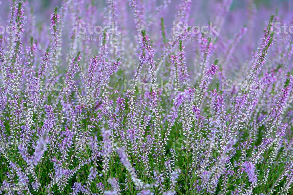 Common flowering heather stock photo