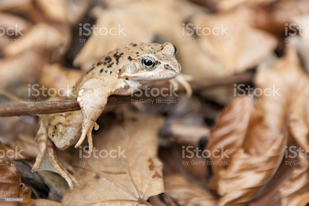 (Europa) common (braun) forest Frosch [ Rana temporaria ] – Foto