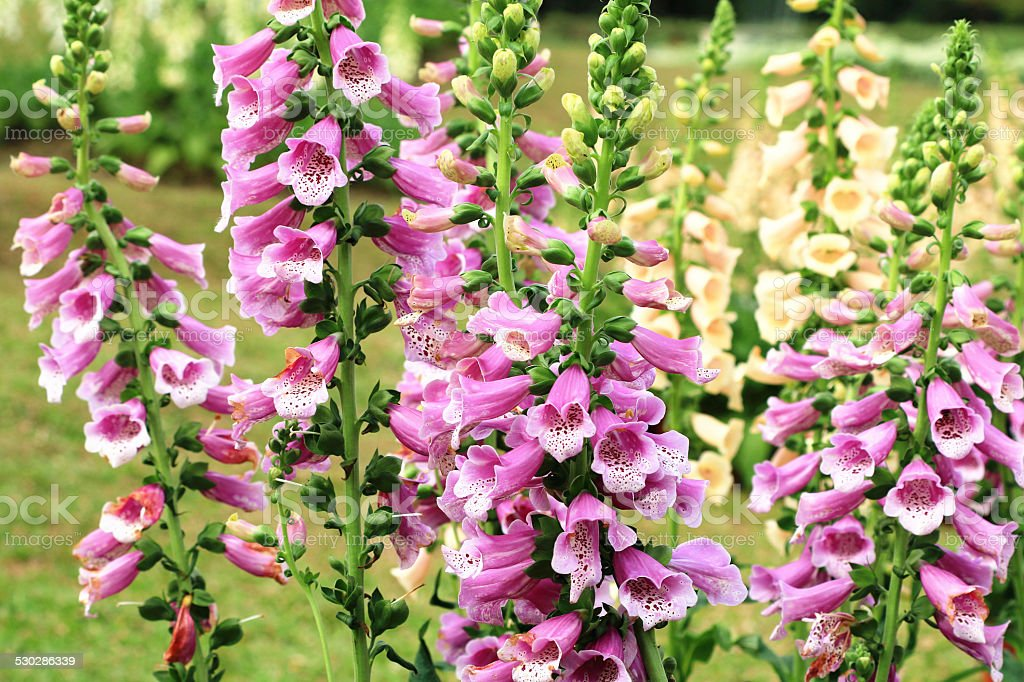 Common Foxglove flowers and buds stock photo