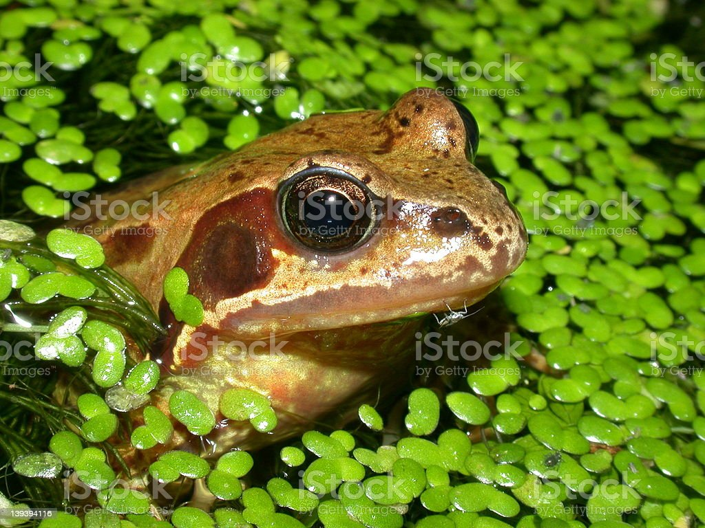 Common Frog in Pond 06 royalty-free stock photo