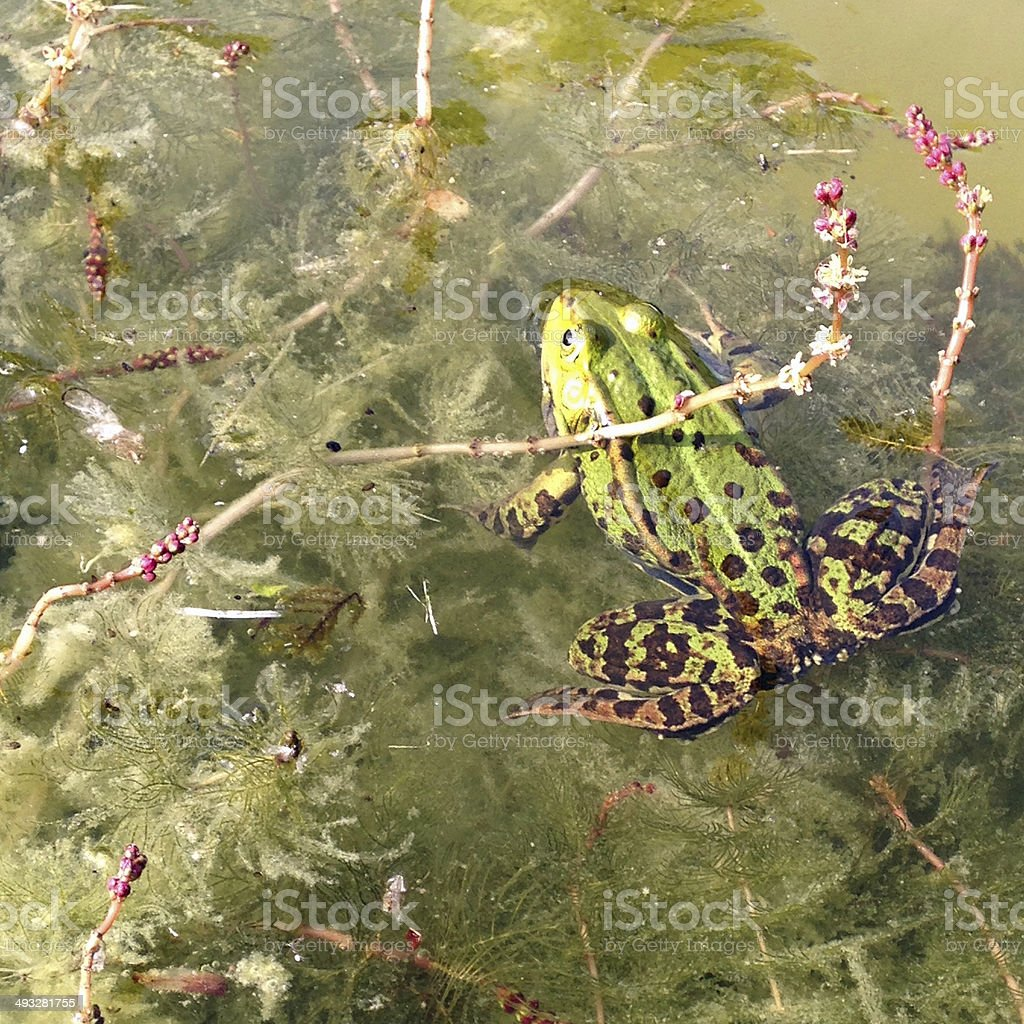 Common frog in pond royalty-free stock photo