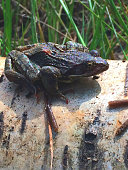 A young common frog after emerging from undergrowth in an English garden in July.