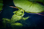 Common frog laying eggs on water surface