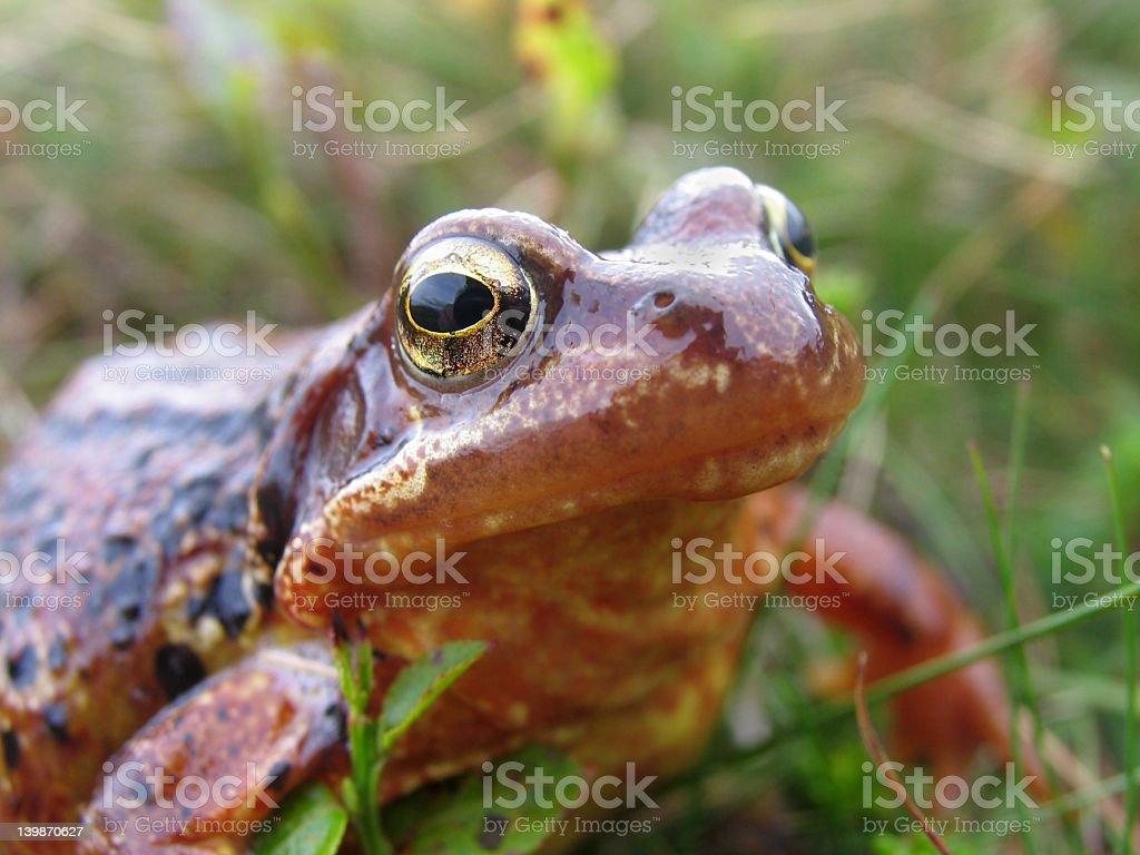 Common frog macro royalty-free stock photo