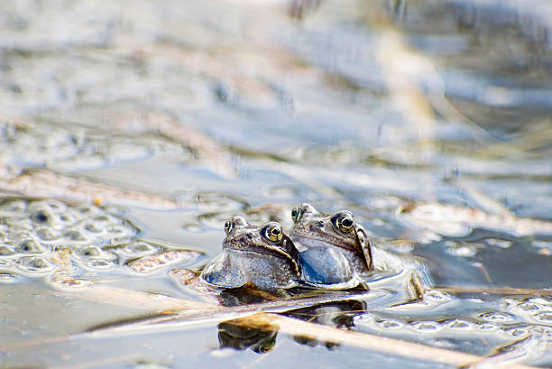 common frog (rana temporaria) mating - mantonature amfibieen stockfoto's en -beelden
