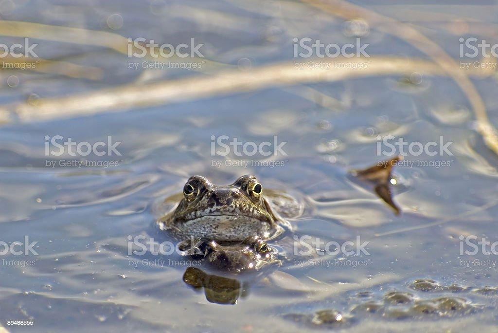 Common Frog (Rana temporaria) mating foto