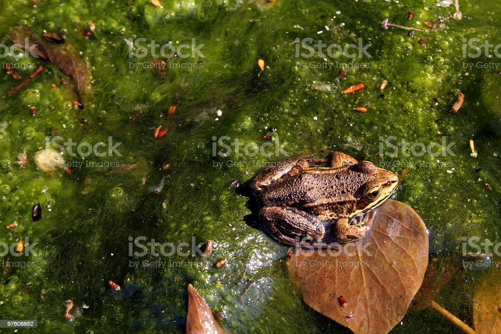 Common Frog on Green Slime royalty-free stock photo