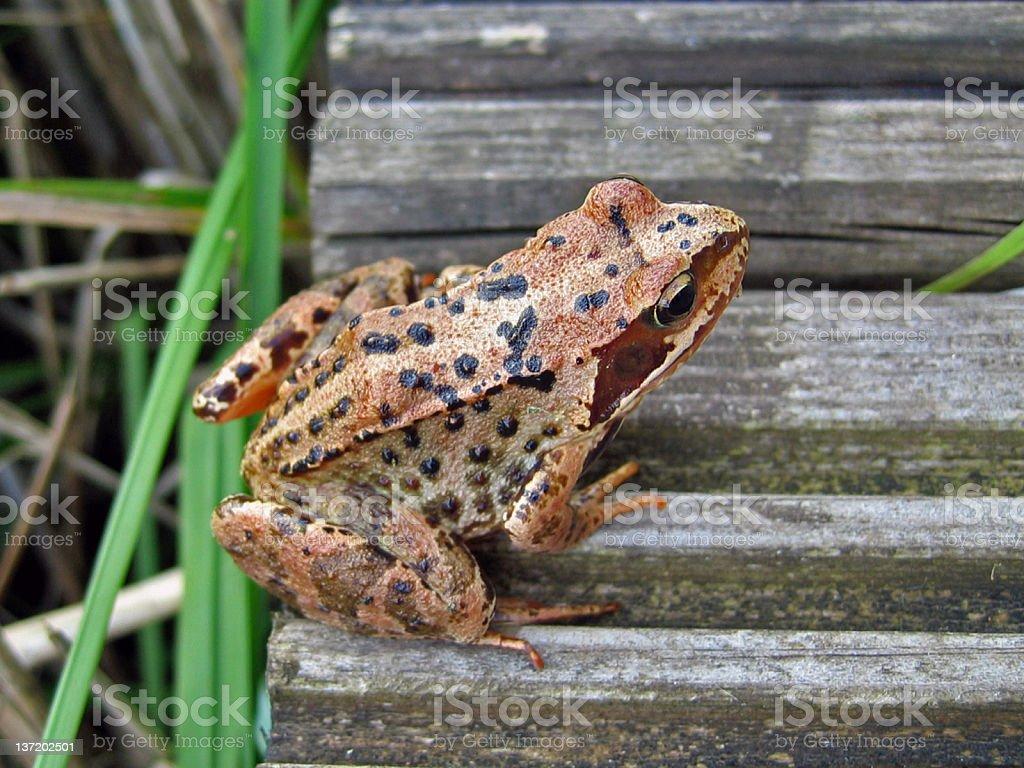 Common Frog stock photo