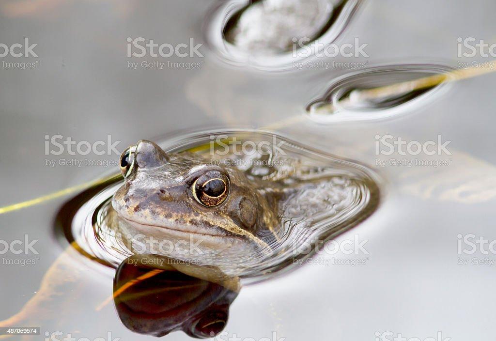 Common Frog (Rana temporaria) foto