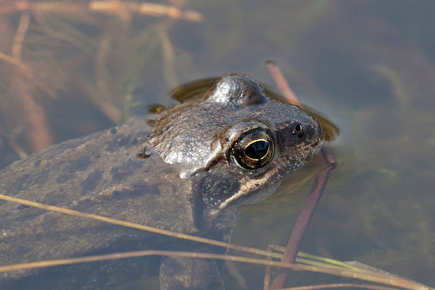common frog (rana temporaria) - mantonature amfibieen stockfoto's en -beelden