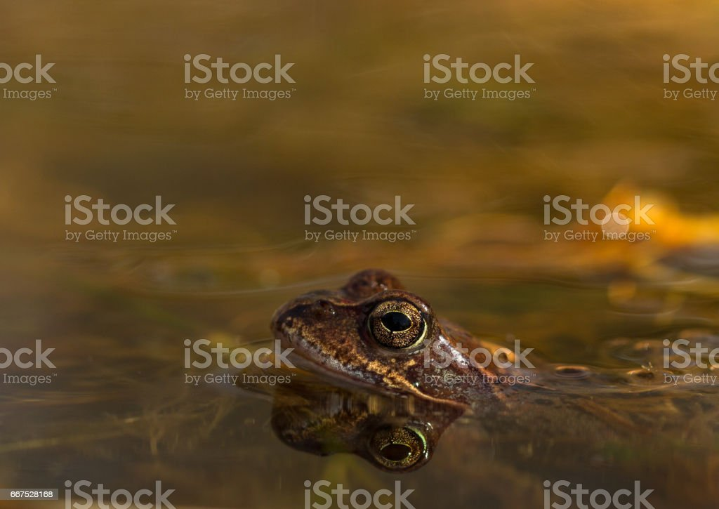 Common frog, Rana temporaria, in a garden pond in Norway. View from the side, reflection of frog in water. April, spring foto stock royalty-free