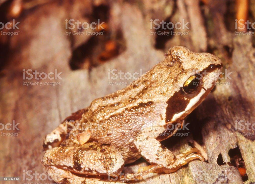 Common Frog (Rana temporaria) Young Animal foto