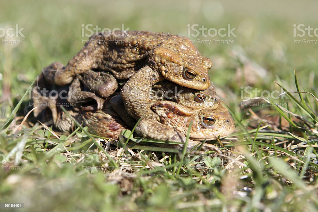 Common Frogs royalty-free stock photo