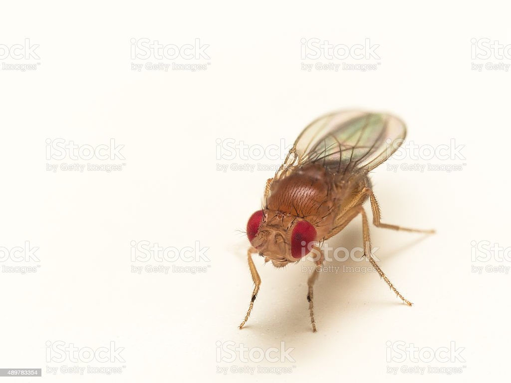 Common fruit fly with bright red eyes on white background stock photo