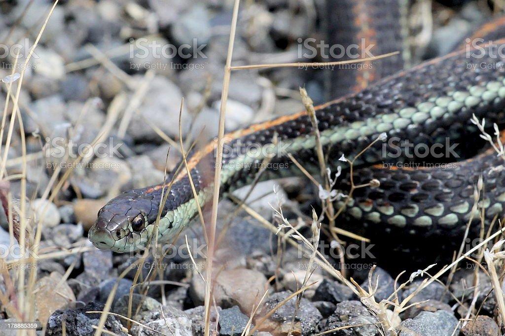 Common Garter Snake royalty-free stock photo