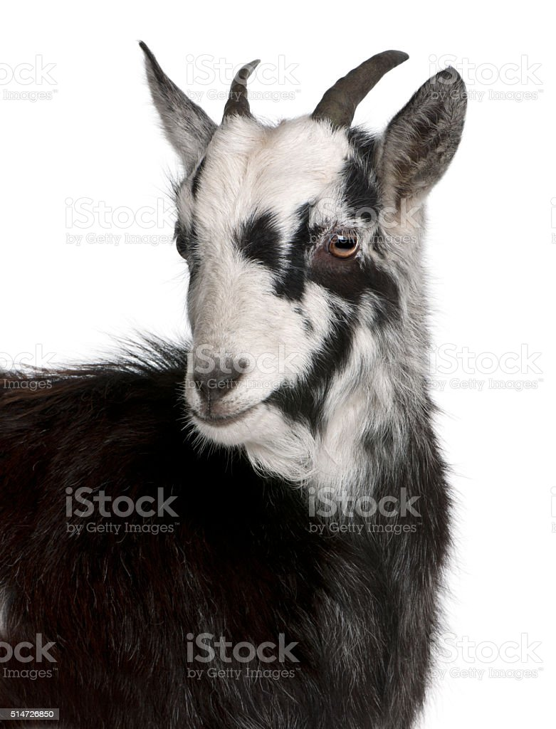 Common Goat from the West of France, 6 months old stock photo