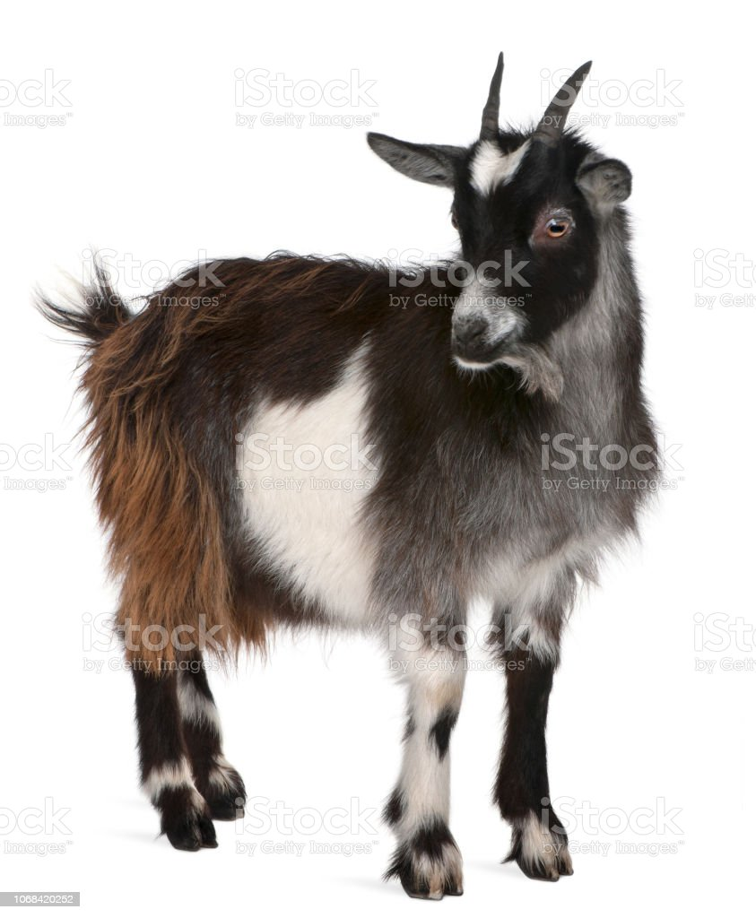Common Goat from the West of France, Capra aegagrus hircus, 6 months old, in front of white background stock photo
