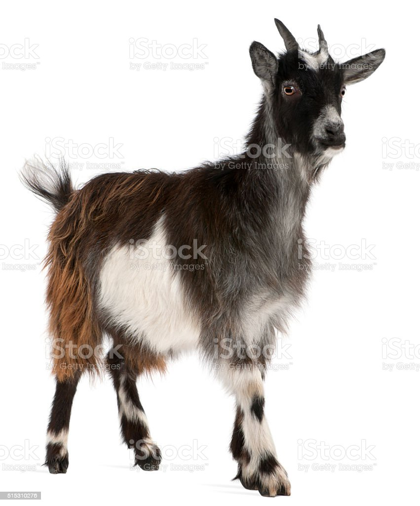 Common Goat from the West of France, Capra aegagrus hircus stock photo