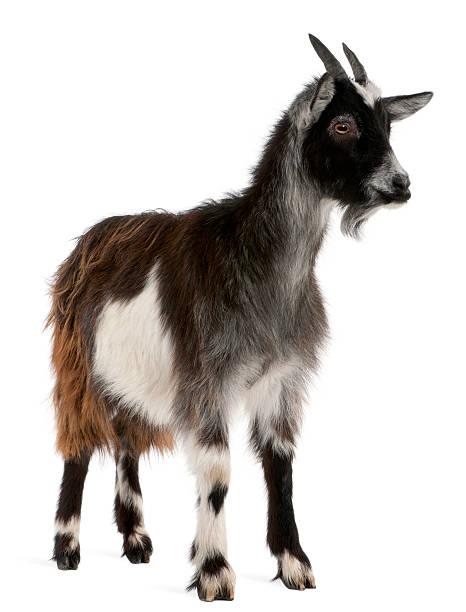 Chèvre commune de l'ouest de la France. - Photo