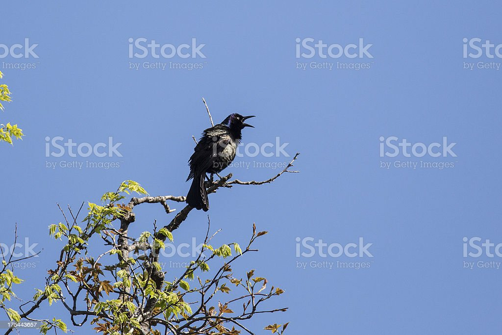 Common Grackle royalty-free stock photo