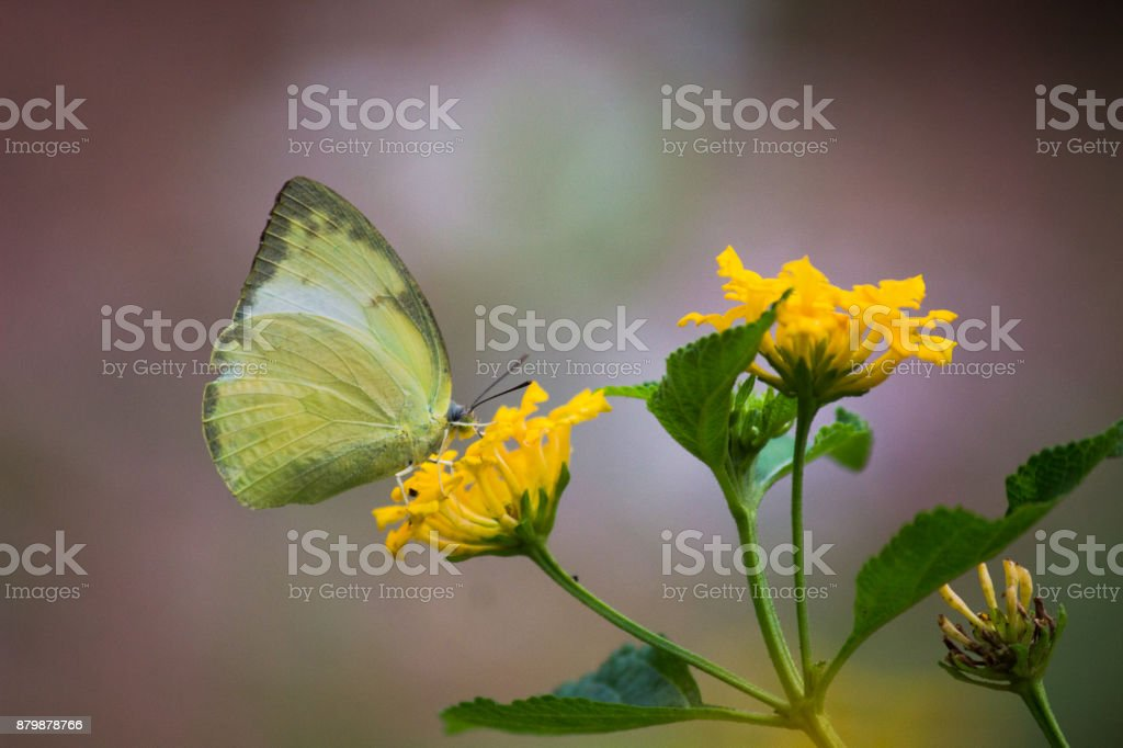 Common Grass Yellow Butterfly stock photo