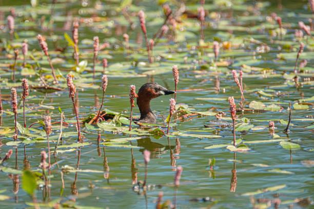Grebe común, Tachybaptus ruficollis, en las tranquilas aguas del río y junto a las plantas acuáticas típicas de la zona - foto de stock