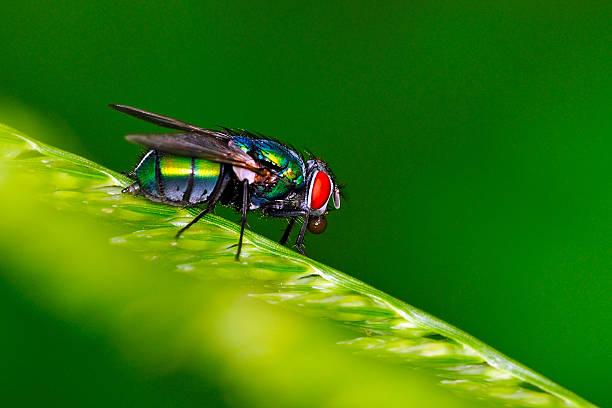 Common Green Bottle Fly stock photo
