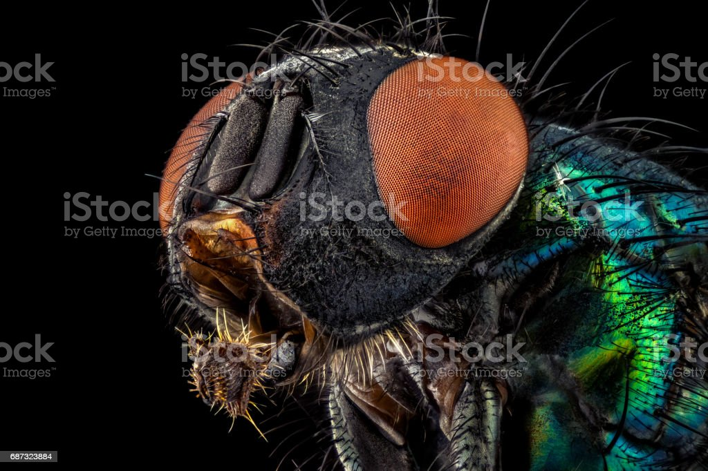 Common green bottle fly stock photo