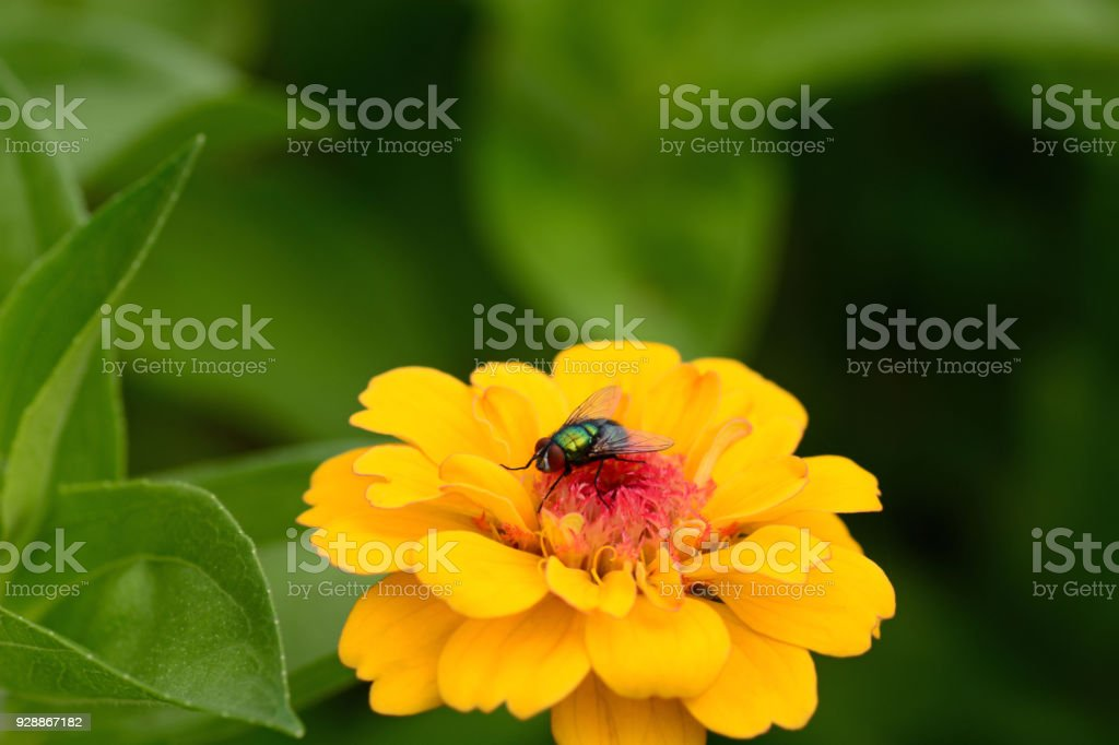 Common green bottle fly resting on top of a flowerhead, stock photo