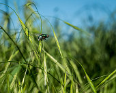 Common green bottle fly (Lucilia sericata) standing on a blade of fresh grass with blurred sky in the background