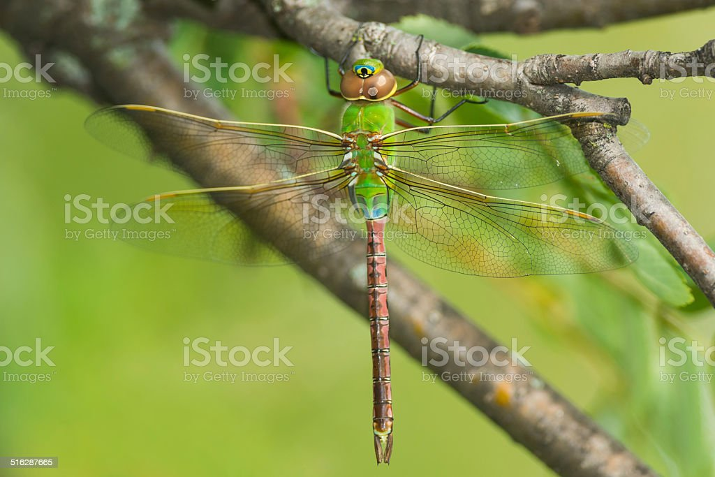 Common Green Darner Dragonfly stock photo